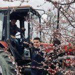 Virágzik az Elek család szilvafaerdeje Csökmőn